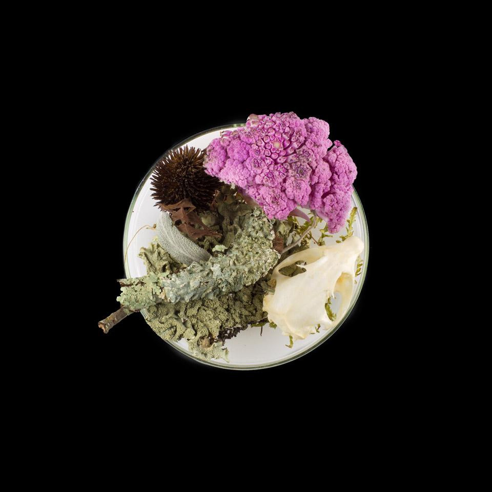Suzanne Ankers, Vanitas in a Petri Dish (13)